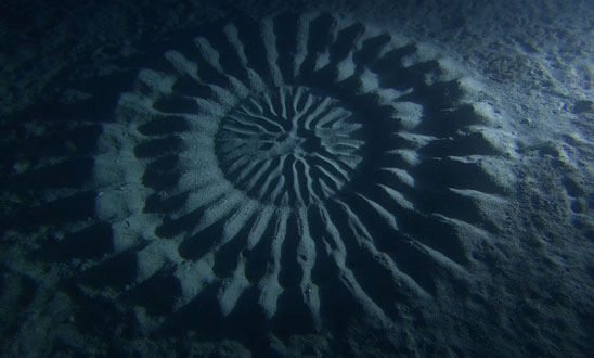 puffer fish crop circle