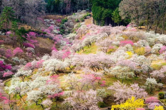 cherry blossom season 2014 (6)