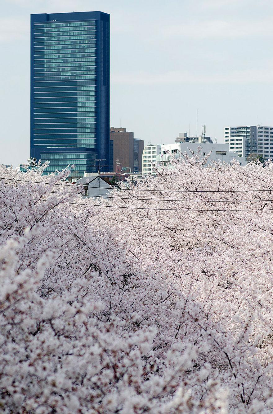 cherry blossom season 2014 (8)