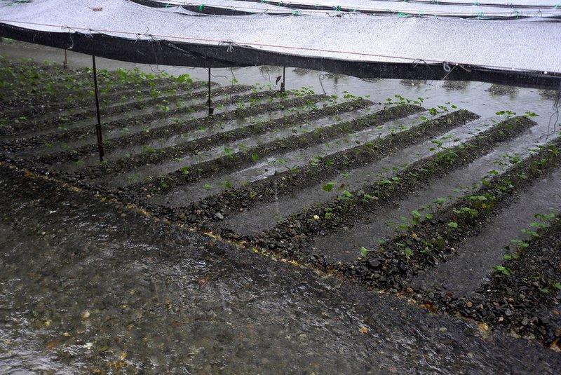 Daio wasabi farm in Nagano
