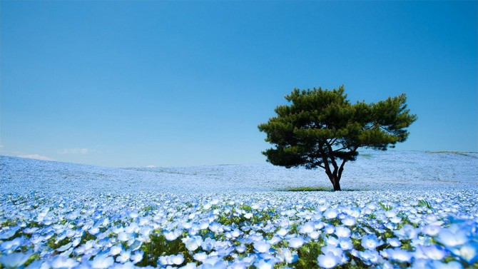 baby blue flowers at hitachino seaside park