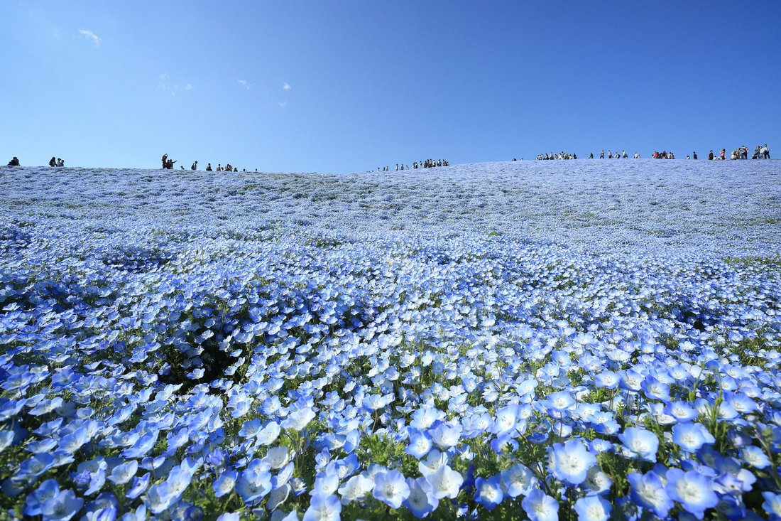 baby blue flowers at hitachino seaside park