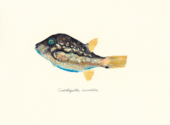 Canthigaster_rivulata-thumbnail2