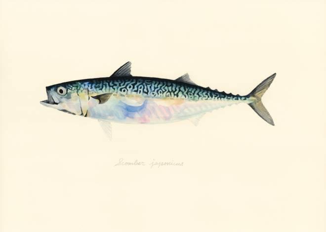 Scomber japonicus