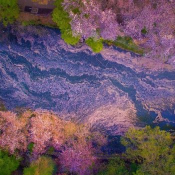 Aerial Drone Photos of Cherry Blossoms at Inokashira Koen
