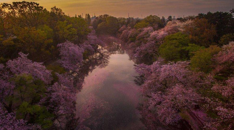 Inokashira Koen cherry blossoms (2)