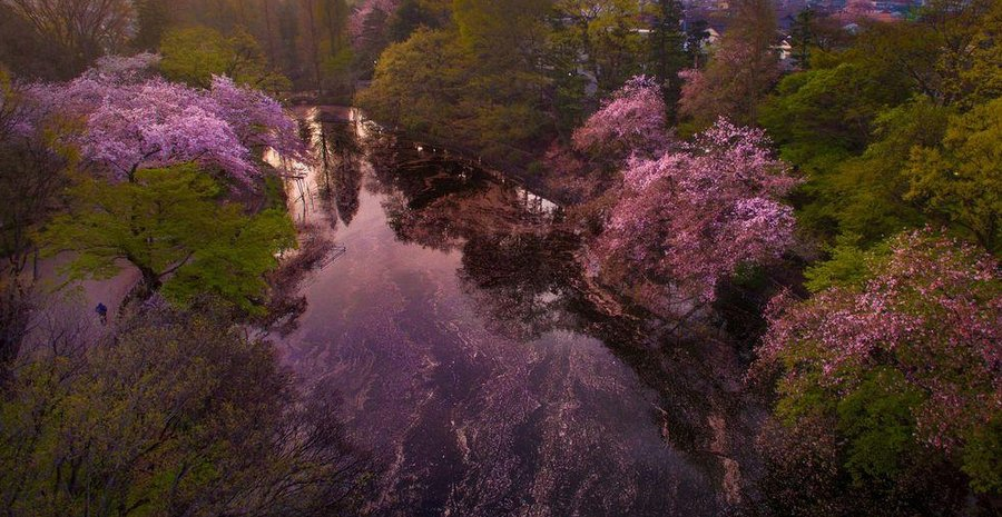 Inokashira Koen cherry blossoms (3)