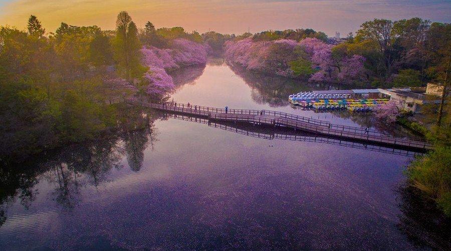 Inokashira Koen cherry blossoms (4)
