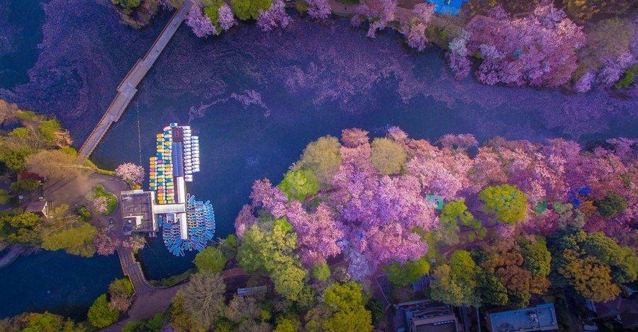 Inokashira Koen cherry blossoms (5)