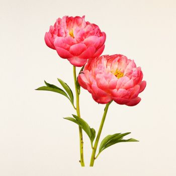 Kenji Toma's Tribute to The Most Beautiful Flowers