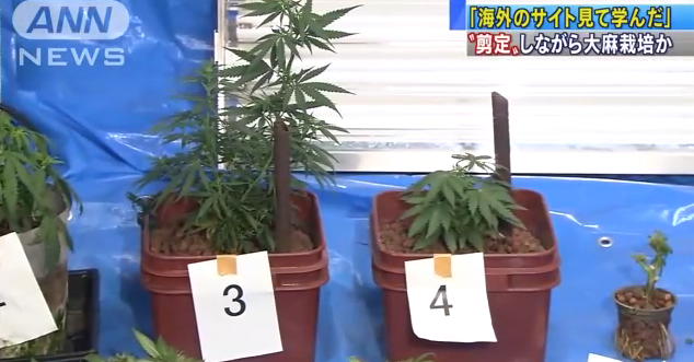 Japanese Man Used Bonsai Techniques to Grow Marijuana