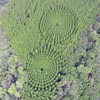 Half a Century in the Making: Tree 'Crop Circles' Emerge in Japan