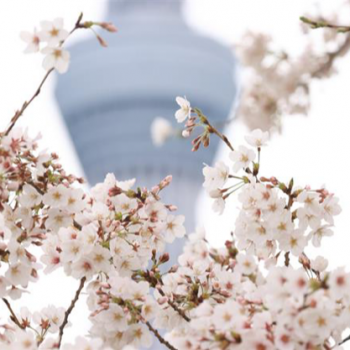 Cherry Blossoms Are in Full Bloom, But This Year Let's Enjoy Them From Home
