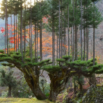 Daisugi: The Japanese Forestry Technique of Creating a Tree Platform for Other Trees