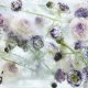 Locked in the ether: photographs of flowers in thawing ice by Kenji Shibata