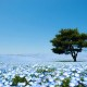 Go See 4.5 Million Baby Blue Eye Flowers at Hitachi Seaside Park in Japan
